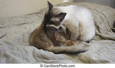 Adult cat mekong bobtail and kitten somali. Pets wash ...