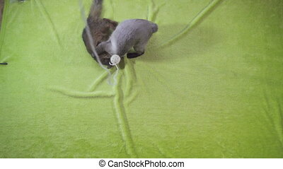 adult cat mekong bobtail and kitten somali play with each ...