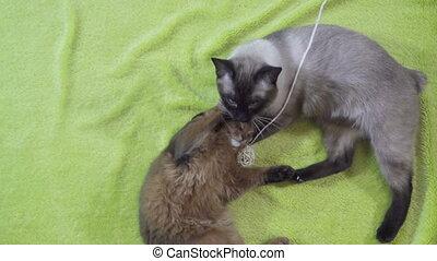 Adult cat mekong bobtail licks a neck kitten somali,