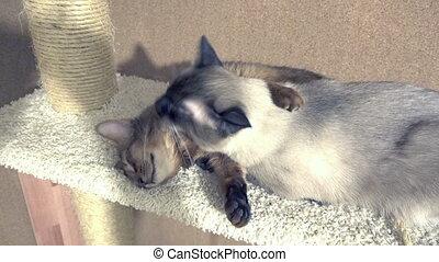 adult cat mekong bobtail licks a neck kitten somali