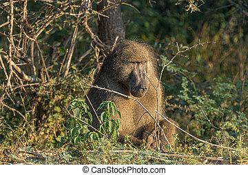 Adult chacma baboon sitting