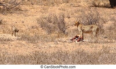 Adult cheetah dragging carcass in the Kalahari