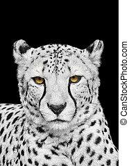 Adult Cheetah Looking at the Camera