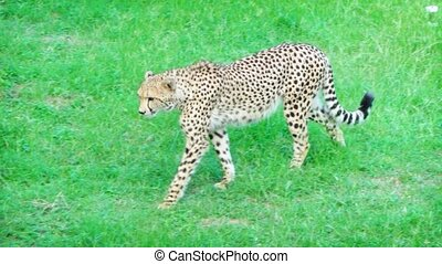 Mature cheetah walks at a relaxed pace through the green grass at this nature preserve in Mauritius.