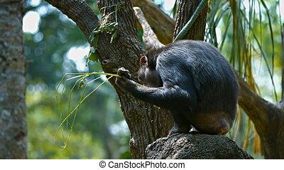 Adult chimpanzee in their habitat.