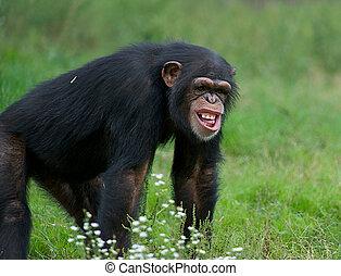 Adult Chimpanzee - (Pan troglodytes) - Funny chimpanzee in...