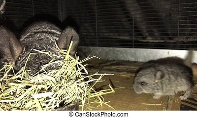 Adult Chinchilla eating Timothy Hay - Domesticated adult...