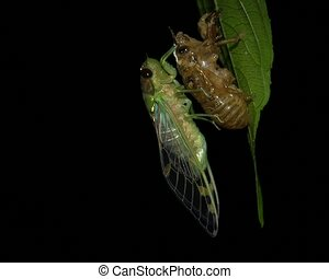 Adult cicada emerging from larval s