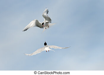 Adult common terns in flight