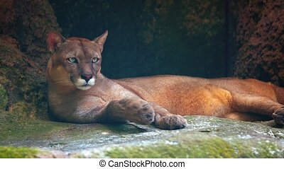 Adult cougar lies lazily on a mossy rock in the shade of her habitat enclosure at a popular public zoo. UltraHD video