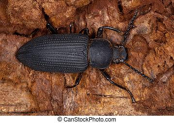 Adult Darkling Beetle of the genus Zophobas