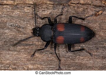 Adult Darkling Beetle of the species Zophobas quadrimaculatus