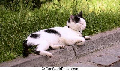 Adult domestic cat