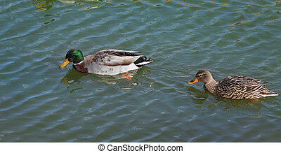 Adult ducks in river or lake water