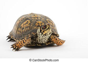 Box Turtle - Adult Eastern Box Turtle (Terrapene carolina ...
