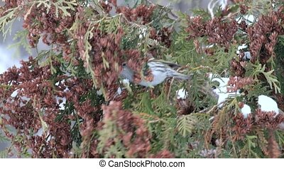 Adult female European siskin eats seeds of thuja in winter (Carduelis spinus)