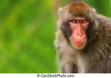 Adult female monkey Macaque with green background