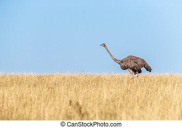 Adult female ostrich running through the grass of the Masai Mara