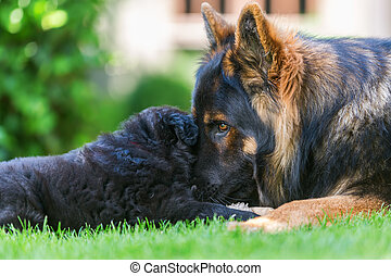 adult German Shepherd dog cuddles with a puppy