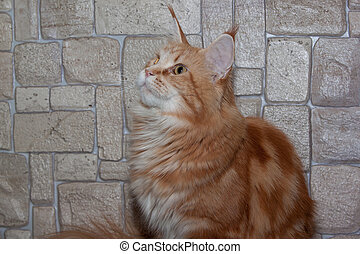 Adult ginger maine coon is sitting on the background of a stone wall.