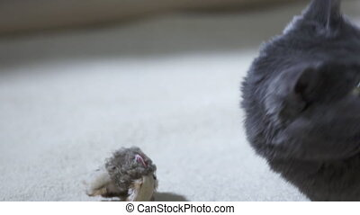 Adult gray cat as a kitten playing with bird toy on white carpet in slow motion