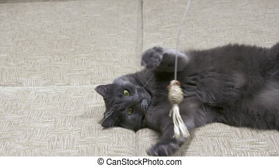 Adult gray cat like kitten playing with mouse toy on a string