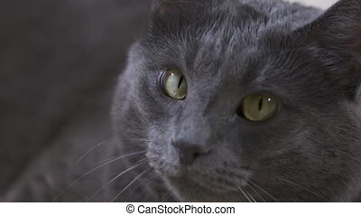 Adult gray cat looking at the camera. Close-up of cat face.