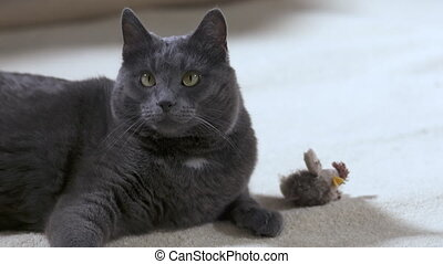 Adult gray cat with bird toy lying on white carpet looking at the camera