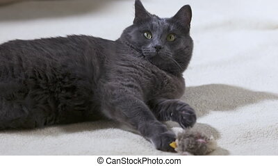 Adult gray cat with bird toy lying on white carpet