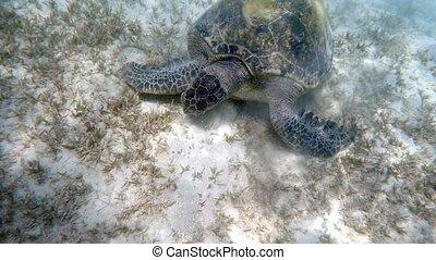 Adult green sea turtle (Chelonia mydas) grazing in red sea, Marsa Alam, Egypt