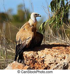Griffon vulture (Gyps fulvus) - Adult Griffon vulture (Gyps ...