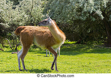 Adult guanaco full body in green environment - Adult guanaco...