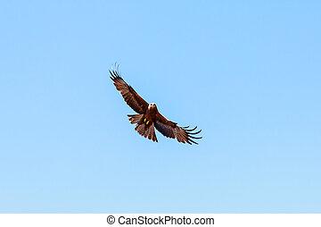 Adult hawk flies on a bright blue sky day