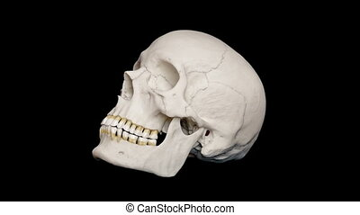 Adult Human Skull Rotating Loop