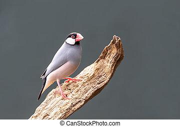 Adult Java sparrow