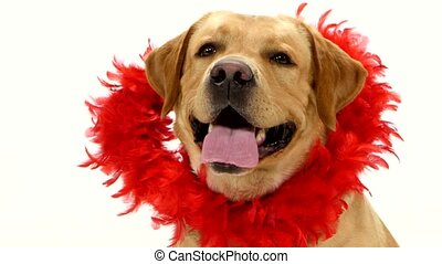 Adult labrador retriever with red boa collar isolated on white background