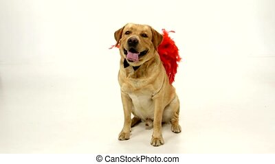 Adult labrador retriever with red wings and black boe-tie isolated on white background
