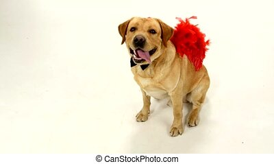 Adult labrador retriever with red wings and black boe-tie isolated on white background, vertical cam