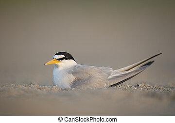 Adult Least Tern on Beach