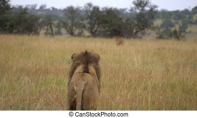 Adult Lion aka Panthera Leo Looking At His Male Opponent Walking in African Savanna. Wild Animals in Natural Habitat 4k