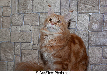 Adult maine coon on the background of a stone wall.