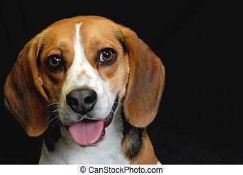 adult male beagle on black background