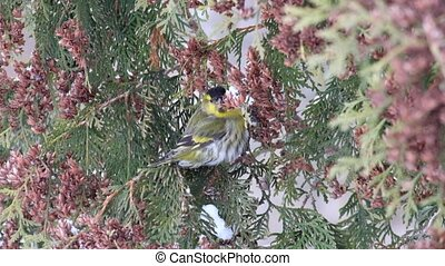 Adult male European siskin eats seeds of thuja in winter (Carduelis spinus)