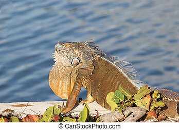 Adult male Green Iguana basking in the sun