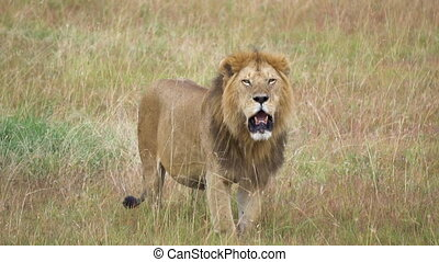 Adult Male Lion aka Panthera Leo Close Up 120fps Slowmotion. Wild Animal in Natural Habitat Looking at Camera