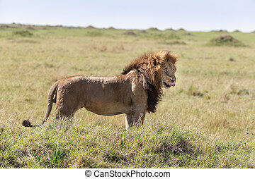 Adult male lion in the Masai Mara