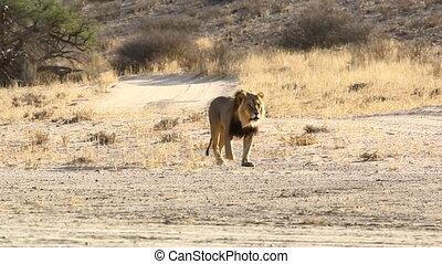 Adult Male Lion Walking in the Kalahari