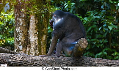 Adult male Mandrill resting in their natural habitat.