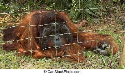 Adult Male Orang-utan Resting, Orang Utan Island