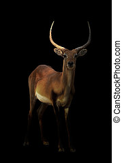 male red lechwe in the dark